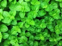 Fresh green apple mint leaves background royalty free stock image