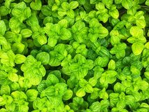 Fresh green apple mint leaves background royalty free stock images