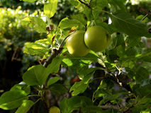 Fresh green apples Stock Photography