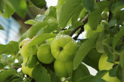 Fresh green apples with dew on a tree branch Stock Photo