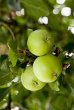 Fresh green apples growing on the tree Royalty Free Stock Images