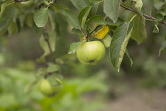 Fresh green apples on a tree Royalty Free Stock Image