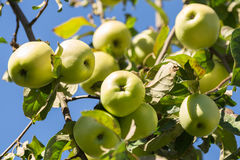 Fresh green apples on a tree Royalty Free Stock Photos