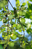 Fresh green apples on a tree in the garden Royalty Free Stock Photo