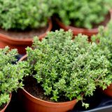 Fresh green aromatc thyme herb macro stock photo