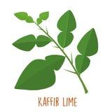 Fresh green aromatic kaffir lime leaf  Stock Photo