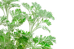 Fresh green Artemisia absinthium (wormwood) Royalty Free Stock Image