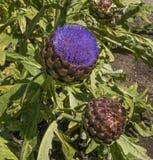 A fresh green artichoke Royalty Free Stock Images