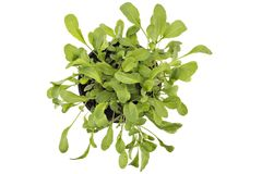 Fresh green arugula in a pot. Seedlings of fresh green arugula Eruca vesicaria leaves in a pot, isolated on white background. Green eco life diet royalty free stock photos