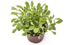 Fresh green arugula in a pot. Seedlings of fresh green arugula Eruca vesicaria leaves in a pot, isolated on white background. Green eco life diet stock images
