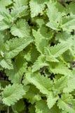 Fresh green background with melissa plant, lemon balm, melissa officinalis Royalty Free Stock Image
