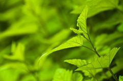 Fresh green background - spring nature. Abstract. Green leaves on green background Royalty Free Stock Images