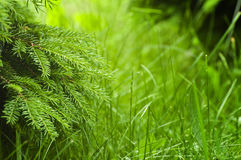 Fresh green background - spring nature. Abstract. Spruce tree and grass Royalty Free Stock Photography
