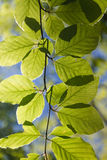 Fresh green backlighted glowing. Leaves in spring sun on a twig Royalty Free Stock Photography