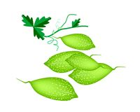 Fresh Green Balsam Pear on White Background Stock Images