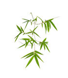 fresh green bamboo branch with leaves on white background Stock Photo