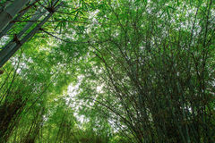 Fresh green bamboo forest,Background Stock Photos
