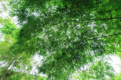Fresh green bamboo forest Royalty Free Stock Photo