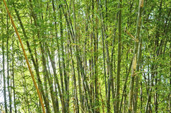 Fresh green bamboo forest Stock Image