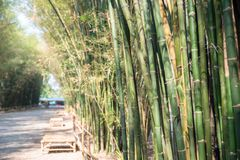 Fresh green bamboo grove royalty free stock images