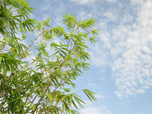 Fresh green Bamboo leaves, against blue sky Stock Photography