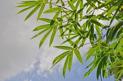 Fresh and green of bamboo leaves close up. With cloudy sky background Stock Photos