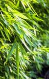 Fresh green bamboo in springtime Stock Photo