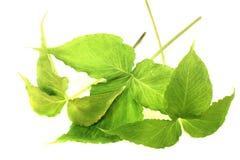 Fresh green Ban Xia Royalty Free Stock Photos