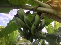 Fresh green banana fruit on tree . stock image
