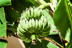 Fresh green banana hanging on tree Royalty Free Stock Photo