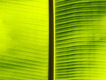 Fresh green banana leaf. Royalty Free Stock Images