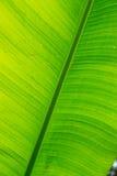 Fresh green banana leaf Royalty Free Stock Photo