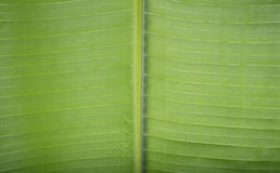 Fresh green banana leaf as background Stock Photo