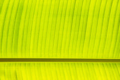 Fresh green banana leaf Stock Image