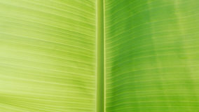 Fresh green banana leaf Royalty Free Stock Photography