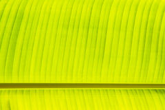 Fresh green banana leaf Stock Images