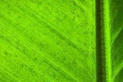 Fresh green banana leaf surface structure extreme macro closeup photo with midrib perpendicular to the frame. Fresh green banana leaf structure extreme macro Stock Images