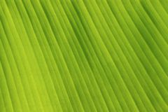 Fresh Green Banana Leaf Texture Stock Photos