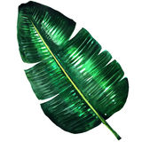 Fresh green banana leaf , watercolor illustration. On white background stock image