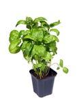 Fresh green basil Royalty Free Stock Images