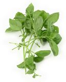 Fresh green basil Royalty Free Stock Photography