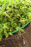 Fresh green basil in a basket at the market Royalty Free Stock Photography
