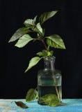 Fresh green basil Royalty Free Stock Photography
