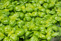 Fresh green basil at the farm market Royalty Free Stock Photo