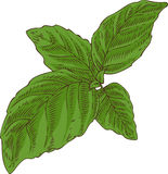 Fresh Green Basil Royalty Free Stock Photo