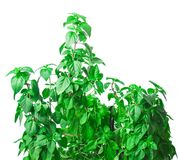 Fresh green Basil herb leaves isolated on white background. Basilicum plant concept. Royalty Free Stock Images