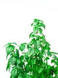 Fresh green Basil herb leaves isolated on white background. Basilicum plant concept. Stock Photo