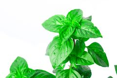 Fresh green Basil herb leaves isolated on white background. Basilicum plant concept. Stock Images