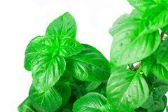Fresh green Basil herb leaves isolated on white background. Basilicum plant concept. Royalty Free Stock Image