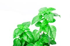 Fresh green Basil herb leaves isolated on white background. Basilicum plant concept. Royalty Free Stock Photo